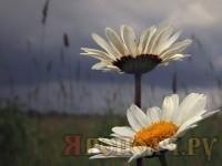 ромашка_лето