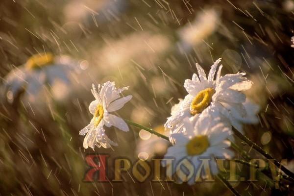 ромашки_дождь