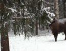 Через Вязниковский район пройдет «Тропа Великого бизона»