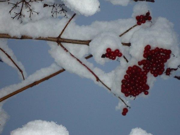 калина в снегу,снег ноябрь,