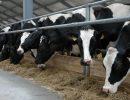 коровы,ферма,