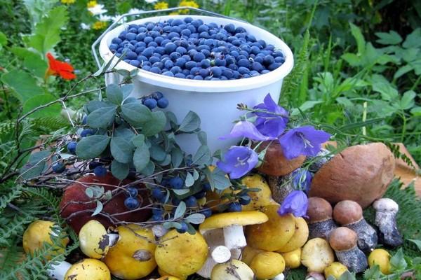 Жителям страны разрешат свободно собирать ягоды и грибы