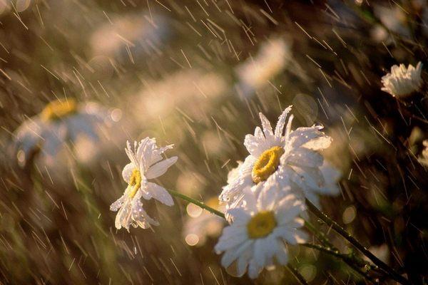 ромашки,лето,дождь,