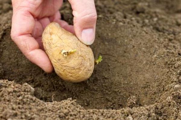 Россельхознадзор опроверг информацию СМИ о штрафах за выращивание картофеля для личных нужд