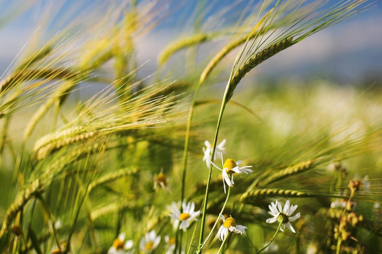 30 августа — народный праздник Мирон Ветрогон. Приметы и традиции