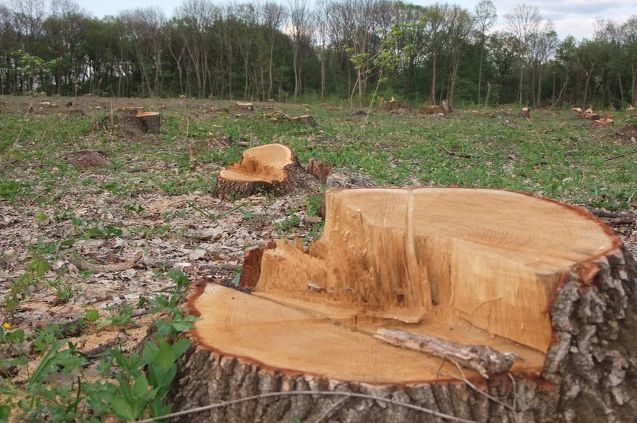 В Вязниках ищут чёрных лесорубов, погубивших сотню деревьев