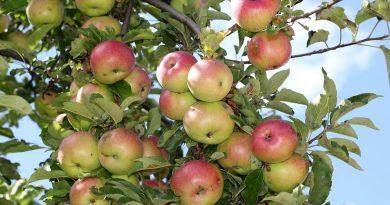 яблоки на ветке,яблоня,лето,август,