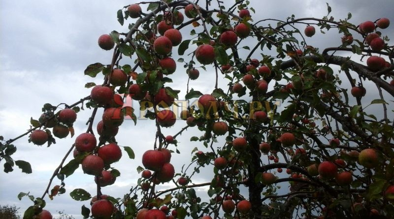 осень,сентябрь,яблоня,