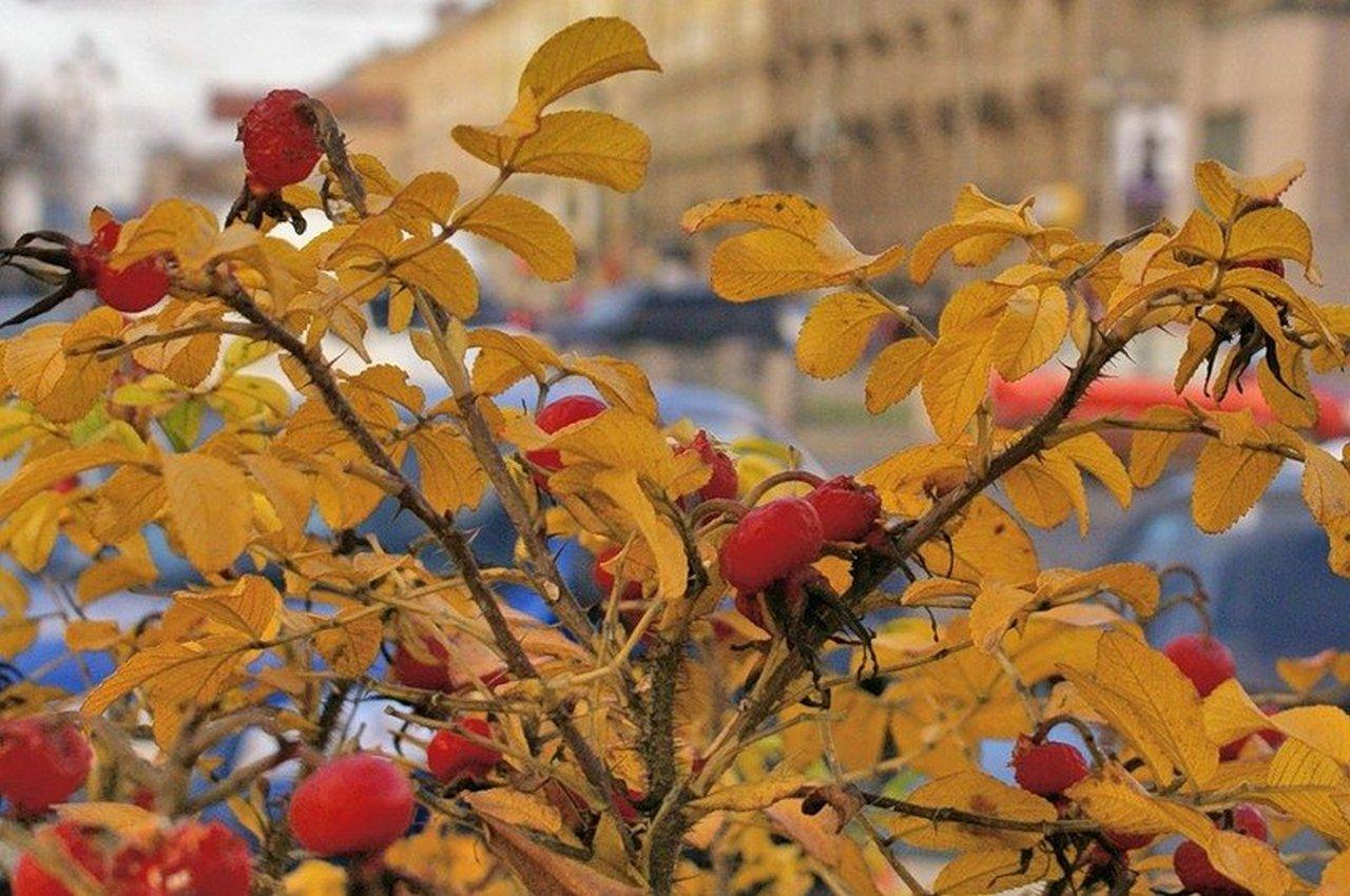 1 октября — народный праздник Арина Шиповница. Приметы и традиции