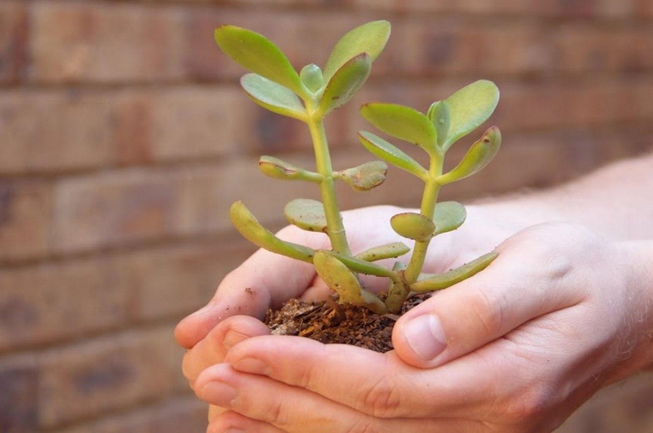 Как правильно посадить денежное дерево, чтобы водились деньги