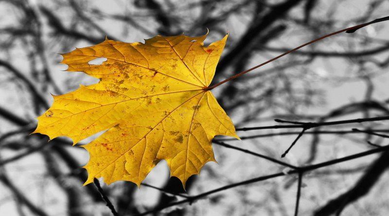 кленовый лист поздней осенью