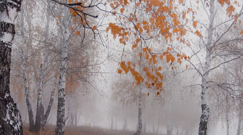 березы,ноябрь,поздняя осень,