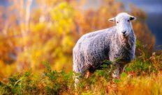 11 ноября — народный праздник Аврамий Овчар и Анастасия Овечница. Традиции и приметы