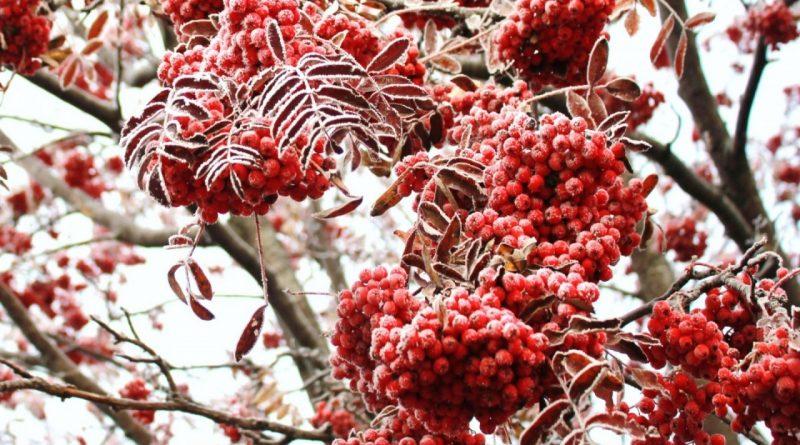 рябина на морозе,ноябрь,