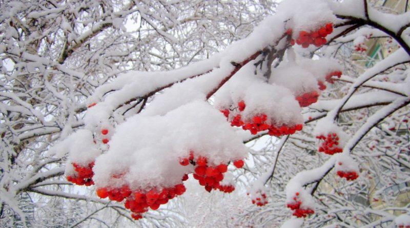 рябина,ноябрь,снег,морозы,