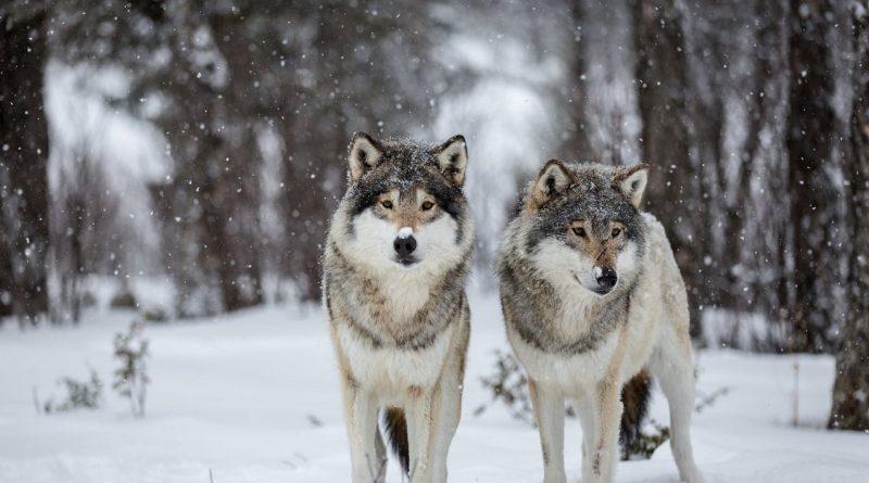 зима,Клим Холодный,волки,холод,снег,8 декабря,