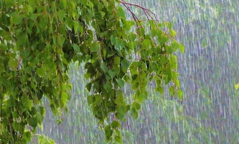 дождь май, береза май дождь,