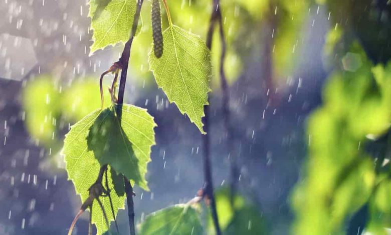 листья березы дождь,