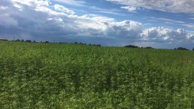 Photo of Засеяли 7 гектаров конопли