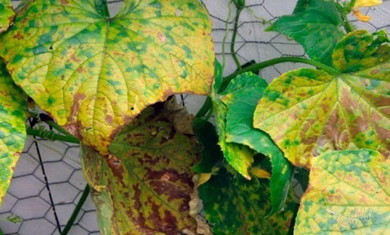 желтые листья огурцы,