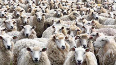 Photo of Оштрафовали за незаконный ввоз в деревню целого стада овец
