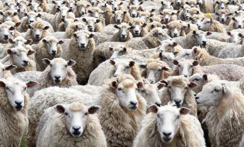 стадо овец, отара,овцы,