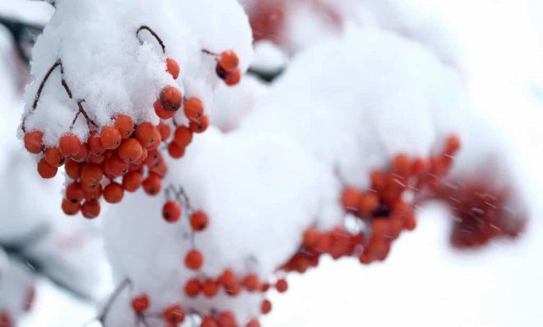 рябина в снегу,рябина ноябрь,снег ноябрь,снег на рябине,