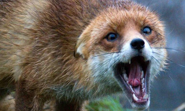 бешенство,бешеная лиса,бешеная лисица,оскал лисы,