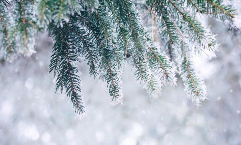 погода на новый год,ель снег зима,ветки ели зимой
