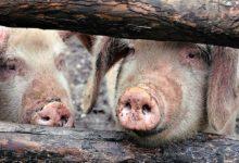 Photo of Обнаружен очаг африканской чумы свиней