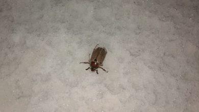 Photo of Уникальный случай: Майский жук в январе проснулся и ползает в сугробе