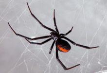 Photo of В российских лесах появились пауки «чёрная вдова»