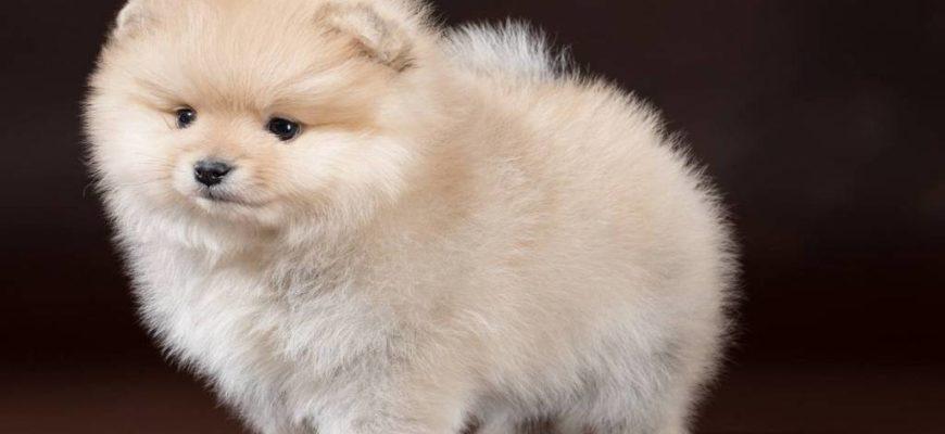 щенок шпица,