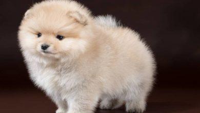 Photo of Мошенник обманул мужчину, который хотел приобрести щенка через Интернет