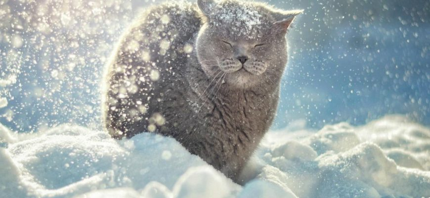 снег зима,снег и кот,кошка в снегу,