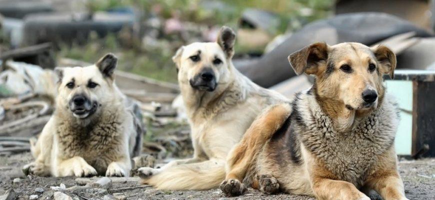 собаки,бездомные собаки,стая собак,