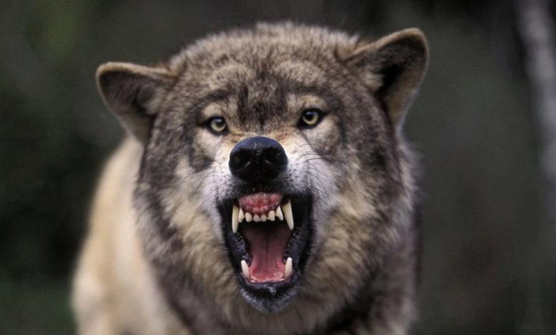 Видео: мужик голыми руками задушил напавшего на него волка. Хищник успел загрызть собак и лошадь