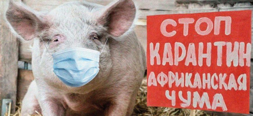 АЧС, африканская чума свиней, карантин АЧС, карантин африканская чума свиней,