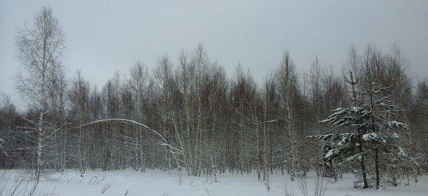 лес зима, зимний лес, 8 февраля,
