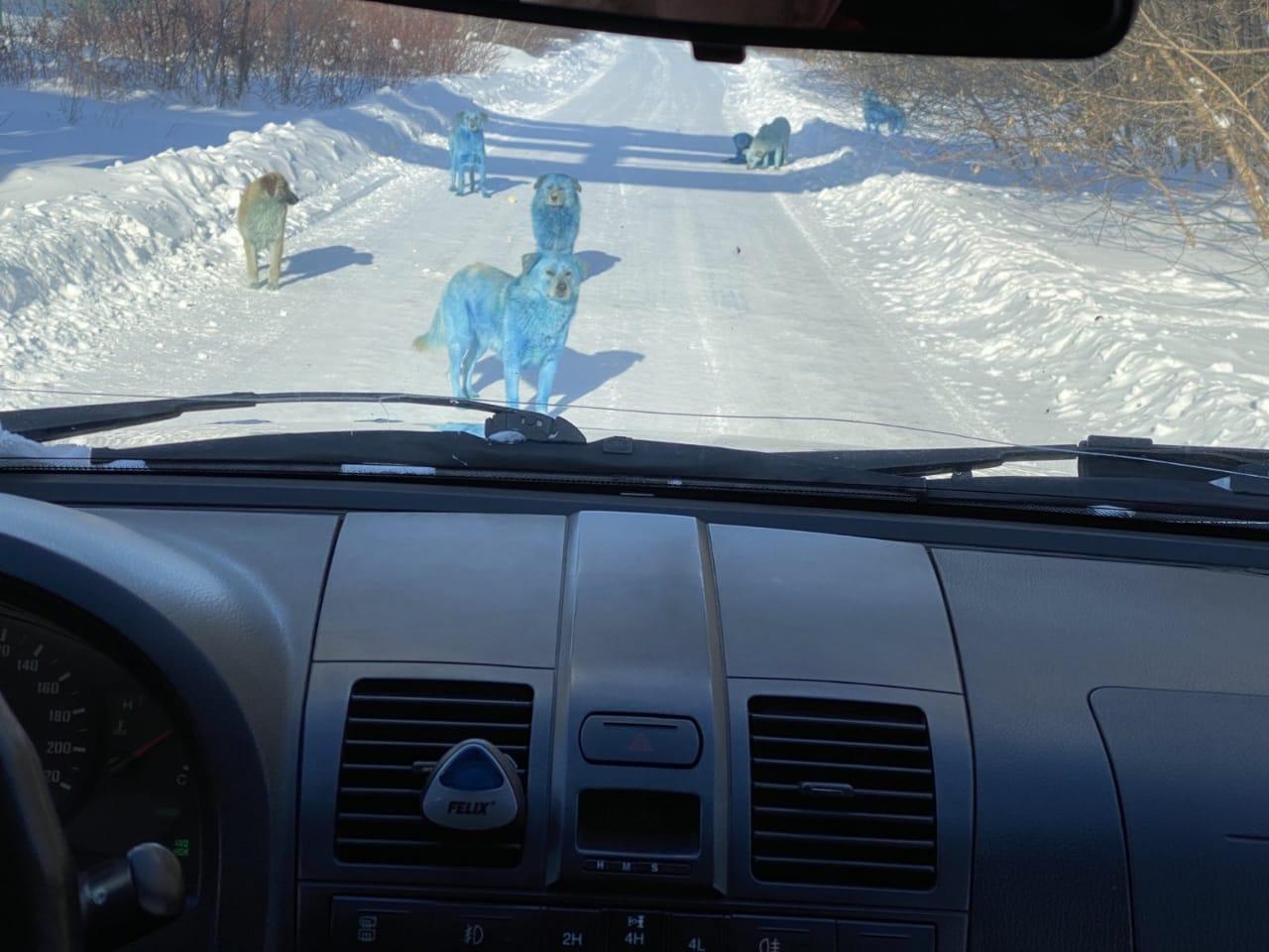 Дзержинск голубые собаки,