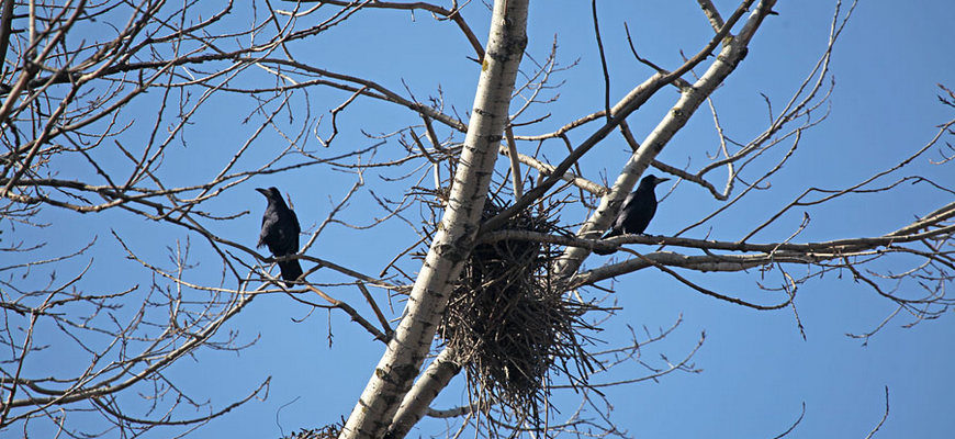 птицы вьют гнезда, народный праздник Обретенье, грачи гнезда, гнезда птиц, грачи весна вьют гнезда,